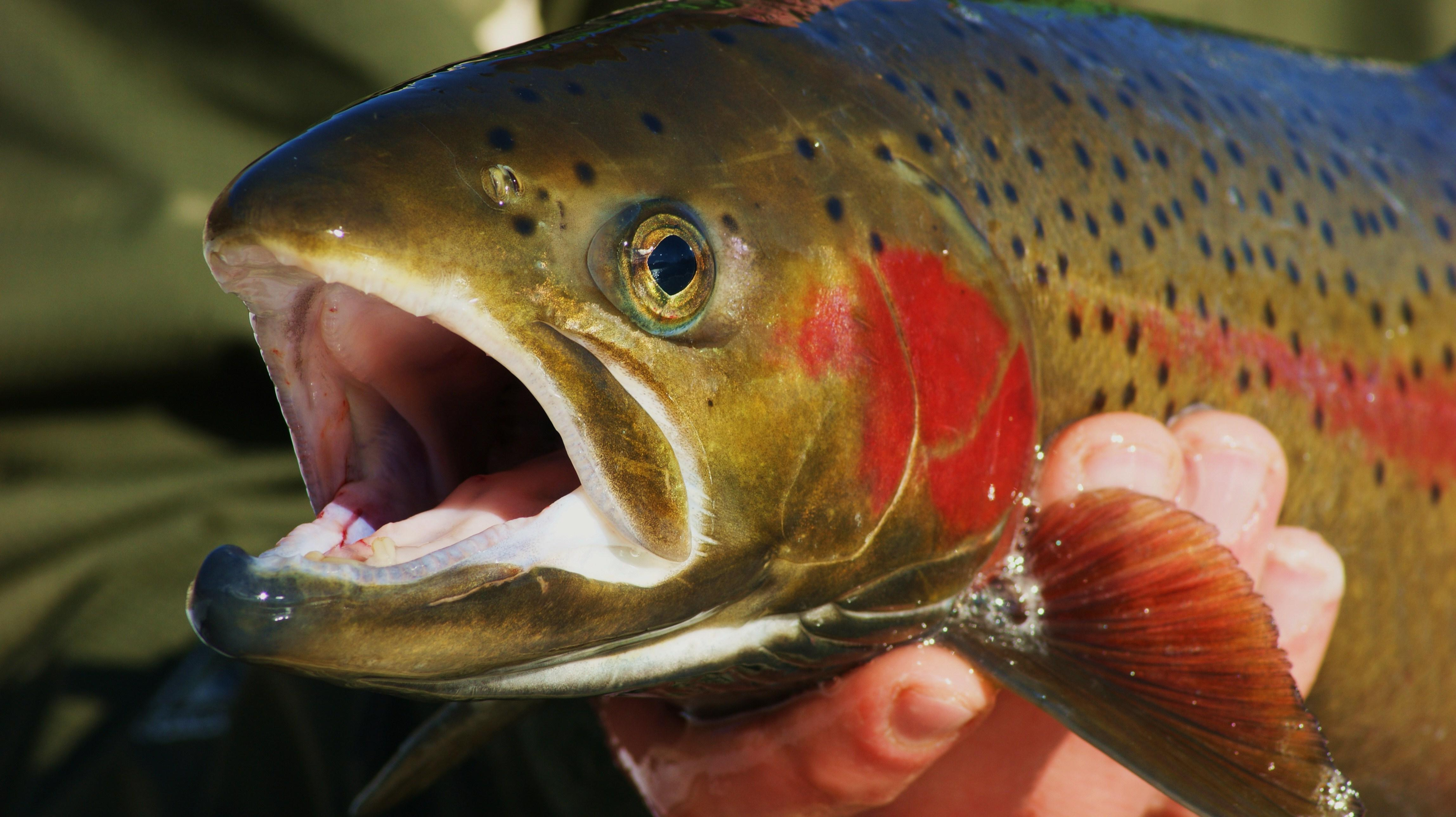 When cultured fish tastes as good as the wild delicious for What do wild fish eat