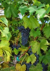 Malbec - Argentina's wine